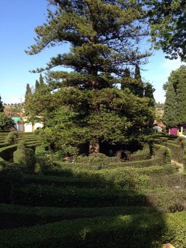 Gran Pino y laberinto en Jardín Botánico Molino de Inca