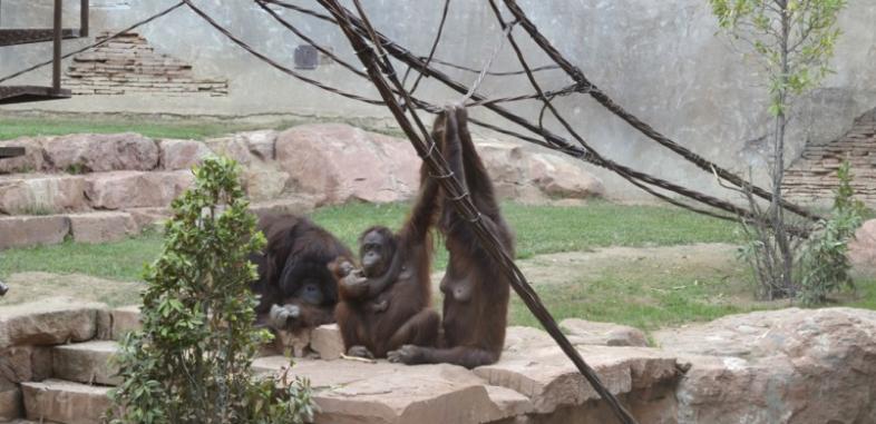 Orangutanes en Bioparc Fuengirola