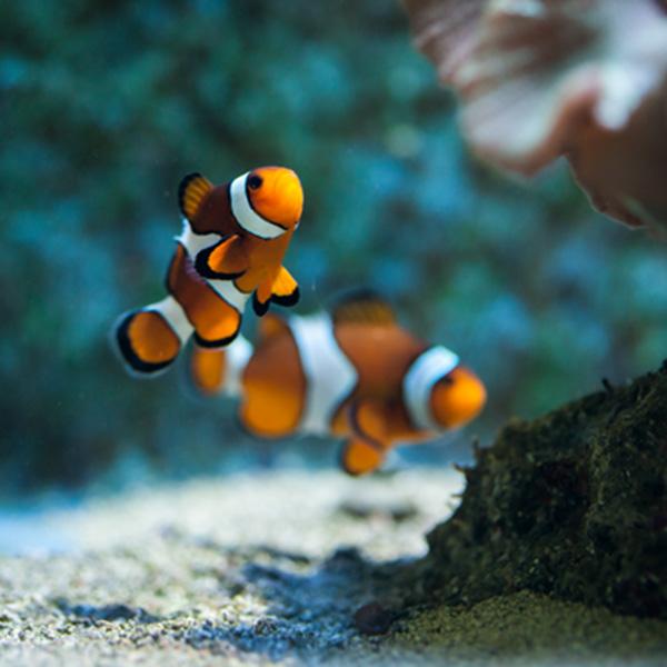 Nemo - pez payaso